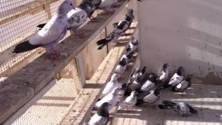 getlinkyoutube.com-متعة الطيران مع طيور استاذ عبدالله حاتم ( الجزء الثاني )