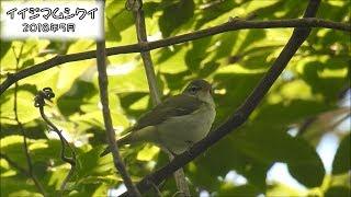 イイジマムシクイ Ijima's leaf warbler (Phylloscopus ijimae)【IUCN R.L. VU】