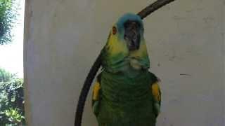 """getlinkyoutube.com-Loro """"RAMON"""" cantando """"LUIS MIGUEL"""""""