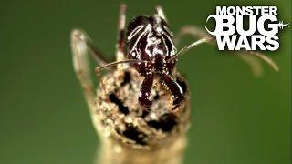 getlinkyoutube.com-Marbled Scorpion Vs Trap Jaw Ants | MONSTER BUG WARS