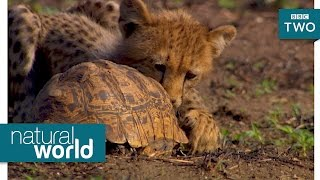 Cheetah and a tortoise - Natural World 2017: Episode 1 Preview - BBC Two