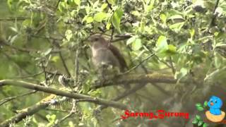 getlinkyoutube.com-kicau burung sikatan londo asli hutan liar