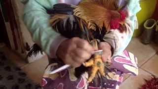 getlinkyoutube.com-La gale des pattes des poules et coq