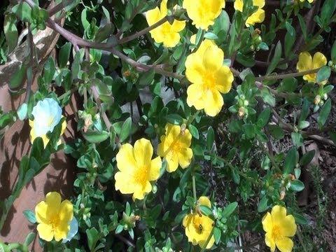 Jardinagem, plantas ornamentais, Onze horas e beldroegas,