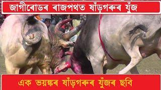 getlinkyoutube.com-Bullfight Jagiroad,Assam,India