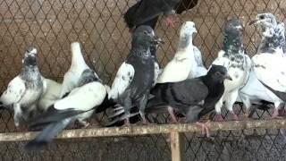 getlinkyoutube.com-Pakistani pigeons Ustad Boota Farooq