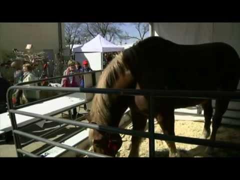 Le plus grand cheval et le plus grand âne du monde réunis pour une foire