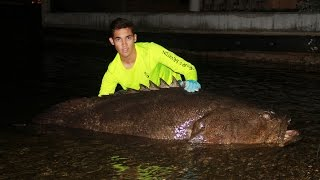 Huge Goliath Grouper Caught on LAND…by HAND…Using a Tow Rope!