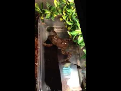 Barnum the 6 legged frog eating