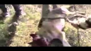 getlinkyoutube.com-Russia Grandma battles and kills wolf that attacks her!