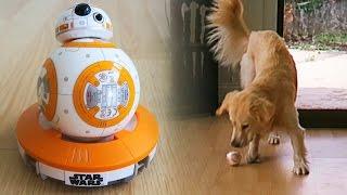 getlinkyoutube.com-Cooper vs Sphero BB-8 Remote Control Droid! (Super Cooper Sunday #41 - Star Wars!)