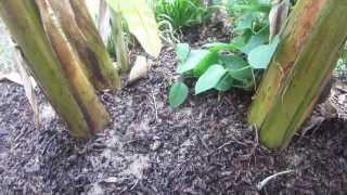getlinkyoutube.com-Maintaining a Banana Plant