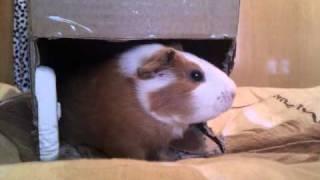 getlinkyoutube.com-морская свинка Руся требует вкусняшку