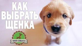 getlinkyoutube.com-Моя собака щенок. Как выбрать щенка? Золотистый ретривер.