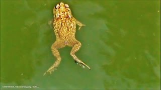 getlinkyoutube.com-Gaya Renang Katak ( Slow Motion )