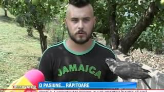 getlinkyoutube.com-Un tânăr în Alba crește păsări răpitoare