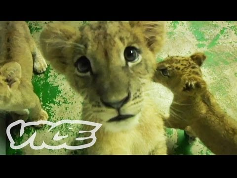 Cute Lion Cubs!