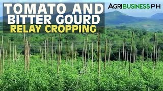 getlinkyoutube.com-Vegetable Farming : Tomato and Bitter Gourd Relay Cropping | Agribusiness Philippines