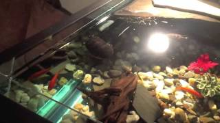 getlinkyoutube.com-4 foot square custom turtle tank