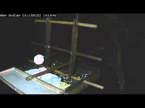 Lesser Bushbaby on Allen BirdCam 22 Aug '13