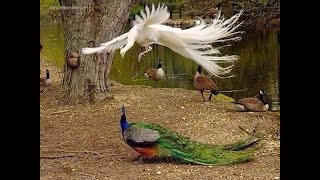 getlinkyoutube.com-Rare White Peacock VS Indian Peacock At Karanji Lake Of Mysore, 2016