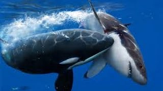 Orcas Attack Great White Shark - Neptune Islands, South Australia. width=