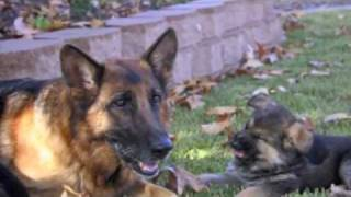 getlinkyoutube.com-Best Dog Training Video Ever!  -  11 week old trained German Shepherd puppies!