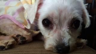 保健所収容のマルチーズが変わっていくまでの動画  The rescued dog Maltese