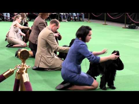 Westminster Dog Show 2012: Day 2 The Biggest Dogs (Working and Sporting Group)