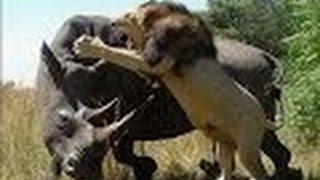 getlinkyoutube.com-معارك شرسة بين وحيد القرن و الأسود - أضخم معارك الحيوانات