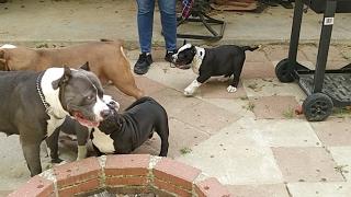American Bully Kennel Royal Kennels.
