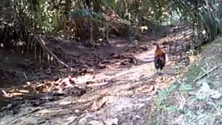getlinkyoutube.com-ayam hutan