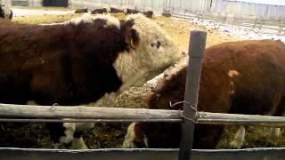 Племенные быки герефорд