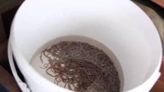 Аквариум 2300 литров: Кормление червями, добываем, готовим и КОРМИМ.