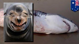 getlinkyoutube.com-Łakomy rekin udławił się lwem morskim.