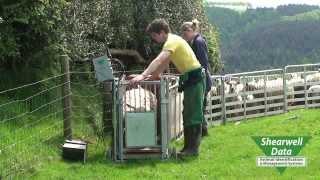 getlinkyoutube.com-Shearwell Data - Sheep Management Crate
