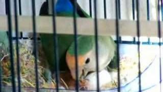 Lovebird Feeds 1-Day-Old Baby