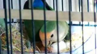 getlinkyoutube.com-Lovebird Feeds 1-Day-Old Baby