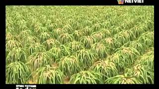 getlinkyoutube.com-Living Vietnam in a day: Dragon Fruit Farm | Sep 2014