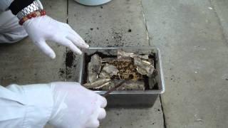 getlinkyoutube.com-パプアキンイロの産卵セット(交尾~産卵)