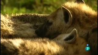getlinkyoutube.com-Grandes documentales La hiena, la reina del Masai Mara