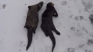getlinkyoutube.com-Otter Trapping with footholds and conibears | Beaver Bandit, Andy Mormann