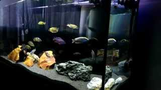getlinkyoutube.com-BEAUTIFUL GRAND EPIC AFRICAN CICHLID TANK #FULL COLOR HD 1080P