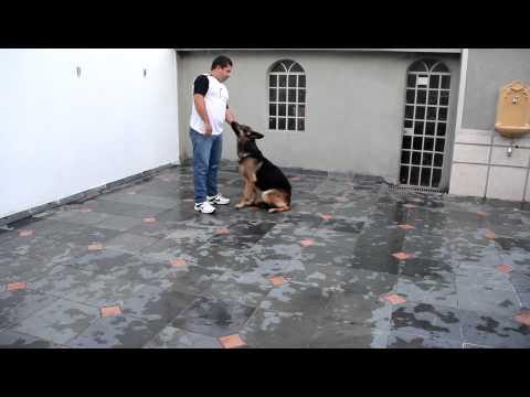 Treinamento de obediência / comandos básicos