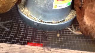 getlinkyoutube.com-Best Zero Waste Bulk Gravity Chicken Feeder/Waterer Saves Money $$$