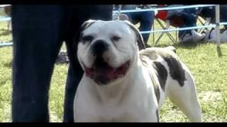 getlinkyoutube.com-BULLDOG AMERICANO  www.bulldogsamericanos.com  www.coelhoskennel.com