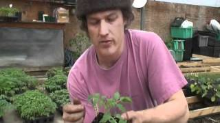 getlinkyoutube.com-How to Graft Greenhouse Tomatoes