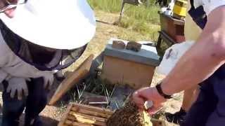 getlinkyoutube.com-BD Varroa zählen, Ameisensäure- oder Milchsäure-Behandlung, Fütterung der Ableger - 25.7.2015