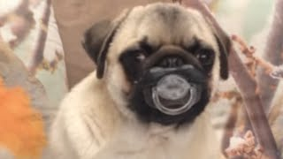 getlinkyoutube.com-30 Incredible Pug Videos