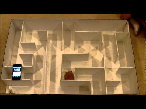 Hamster in maze for Science Fair